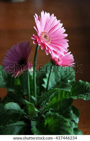 Beautiful pink Gerber flower - stock photo