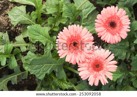 Beautiful pink Gerbera flower in garden. - stock photo