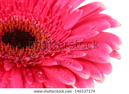 Beautiful pink gerbera flower isolated on white