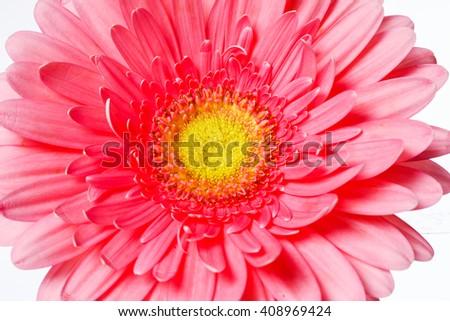 Beautiful pink gerbera flowers isolated on white - stock photo