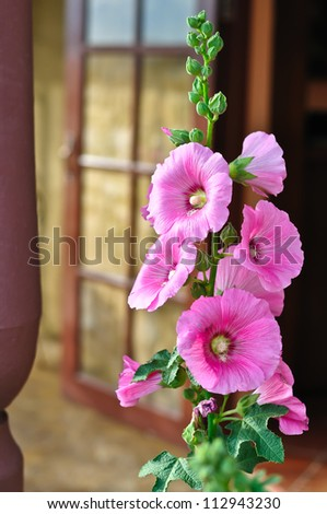 Beautiful Pink Hollyhock - stock photo