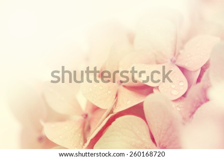 Beautiful pink hydrangea. - stock photo