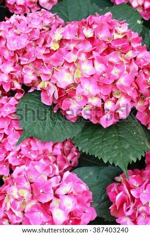 beautiful pink hydrangea - stock photo