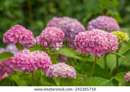 Beautiful pink hydrangea flowers with green leaves growing in the garden - stock photo