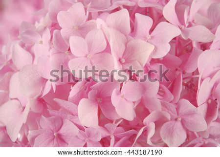 Beautiful Pink hydrangeas flower background. Natural color. - stock photo