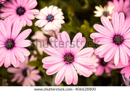 Beautiful pink lilac daisy flowers, background of the flowers - stock photo