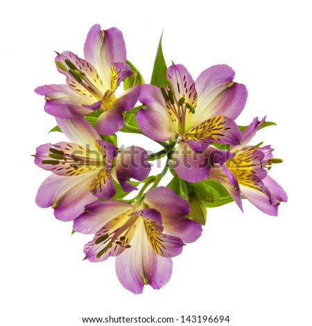 Beautiful pink Lilly's, isolated on white background - stock photo