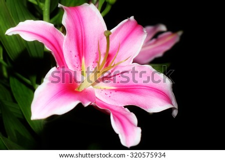 beautiful pink lily flower as an decoration ornamental garden - stock photo
