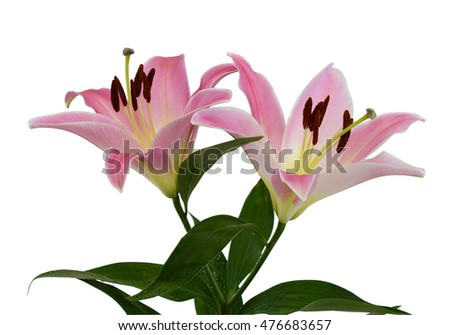 beautiful pink lily flowers isolated on white background