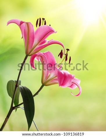 Beautiful Pink Lily in the Morning Sunshine