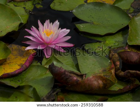Beautiful Pink lily water plant with reflection in a pond - stock photo
