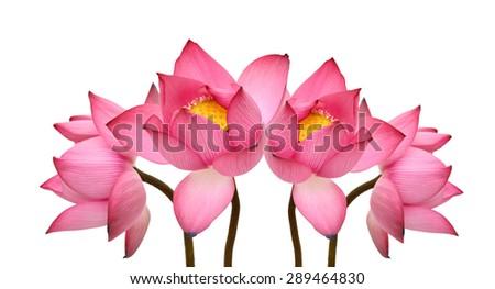 beautiful Pink Lotus - stock photo