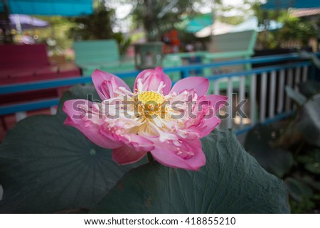Beautiful Pink lotus blossoms blooming on pond, the popular and symbolic of vietnamese. - stock photo