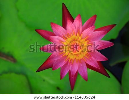 Beautiful pink lotus flower - stock photo