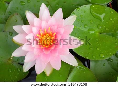Beautiful pink lotus flower blooming - stock photo