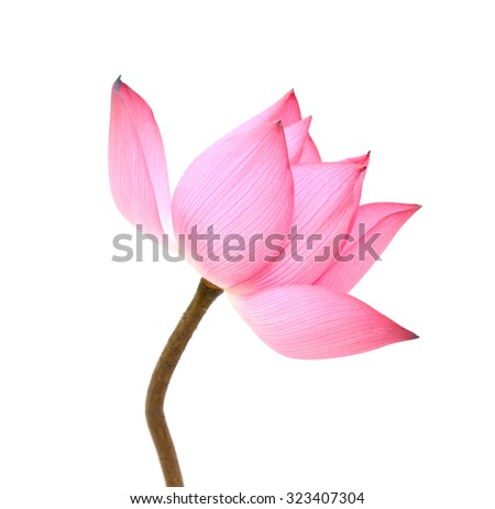 beautiful pink Lotus flower isolated on white background - stock photo