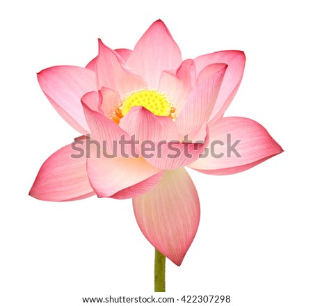 beautiful pink Lotus flower isolated on white background - stock photo