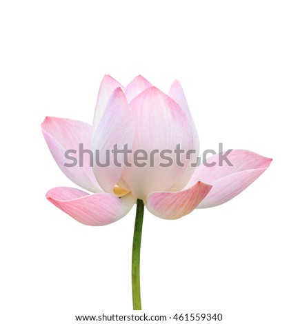 Beautiful pink lotus flower isolated on white background. Saved with clipping path (Lotus used to worship)
