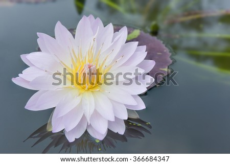Beautiful pink lotus flower pond scenery with water lilly