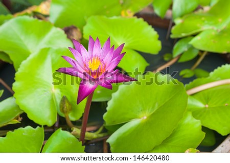 Beautiful pink lotus flower that grows on a lotus leaf  - stock photo