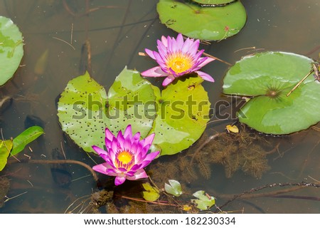 Beautiful Pink Lotus flower, waterlily in the pond