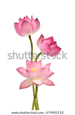 Beautiful pink lotus flowers isolated on white background