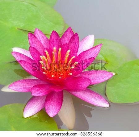 Beautiful Pink Lotus, Pink Water Lily  - stock photo