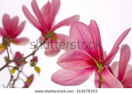 Beautiful pink magnolia flowers on white background