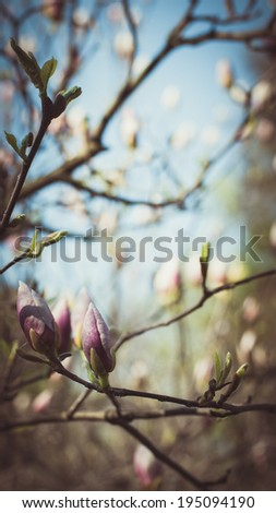 Beautiful pink magnolia flowers. Shallow DOF with bokeh background. - stock photo