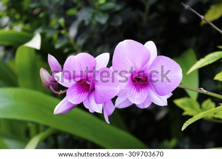 Beautiful pink orchid blooming in the garden - stock photo