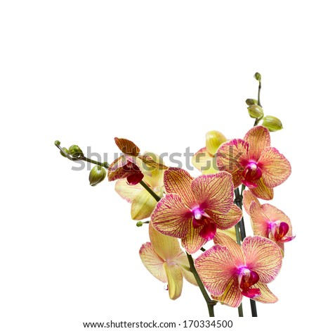 Beautiful pink orchid branch  Closeuup flowers. - stock photo