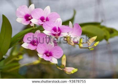 beautiful pink orchid bunchy from garden