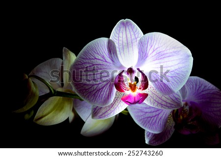 Beautiful Pink Orchid Flowers Isolated on the Black Background - stock photo