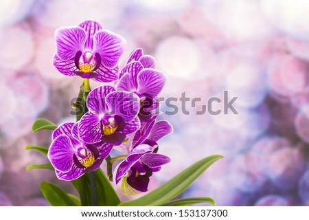 Beautiful pink orchid  - phalaenopsis - stock photo