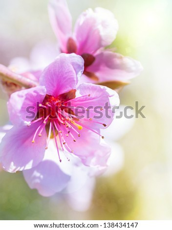 beautiful pink peach blossom on color background