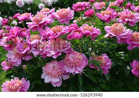 The Pink Peonies Amusing Pink Peonies Stock Images Royaltyfree Images & Vectors Inspiration Design