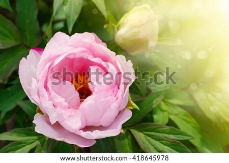 beautiful pink peony - stock photo