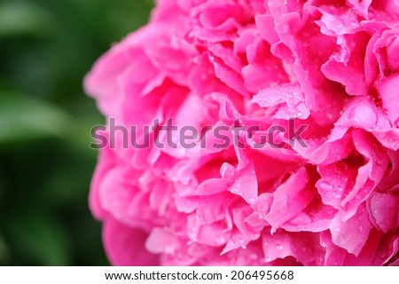 Beautiful Pink Peony Flower Close-Up - stock photo