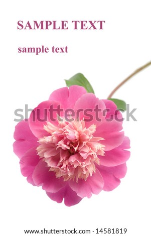 beautiful pink peony flower isolated