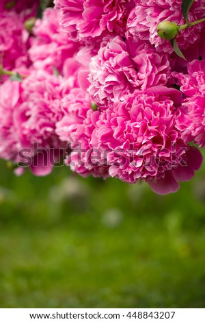 Beautiful Pink Peony Flowers with Copy Space as Background