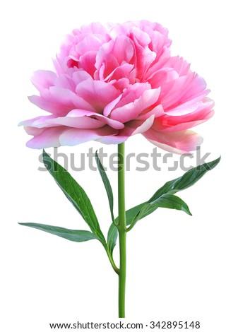 beautiful pink peony isolated on white background - stock photo