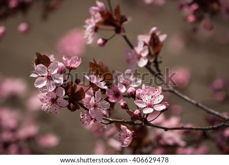 Beautiful Pink Plum Blossom Branch on Soft Bokeh Background - stock photo