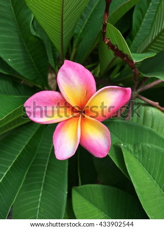 Beautiful Pink Plumeria.