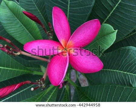 Beautiful pink plumeria flower with green leaves background