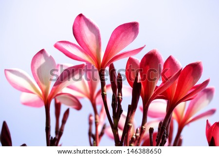 Beautiful pink plumeria flowers - stock photo