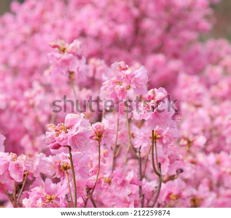 Beautiful pink rhododendron flowers - stock photo