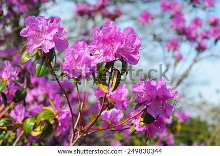 Beautiful pink rhododendron flowers and bee - stock photo