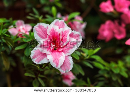 Beautiful pink rhododendron tree blossoms. Azalea in nature. Closeup Pink Desert Rose flower. - stock photo