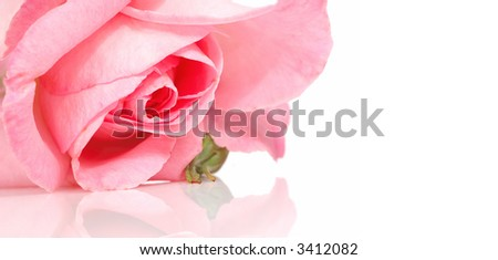 beautiful pink rose and a reflection (extreme close up shot)