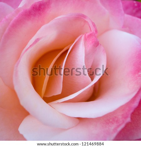 Beautiful pink Rose close up